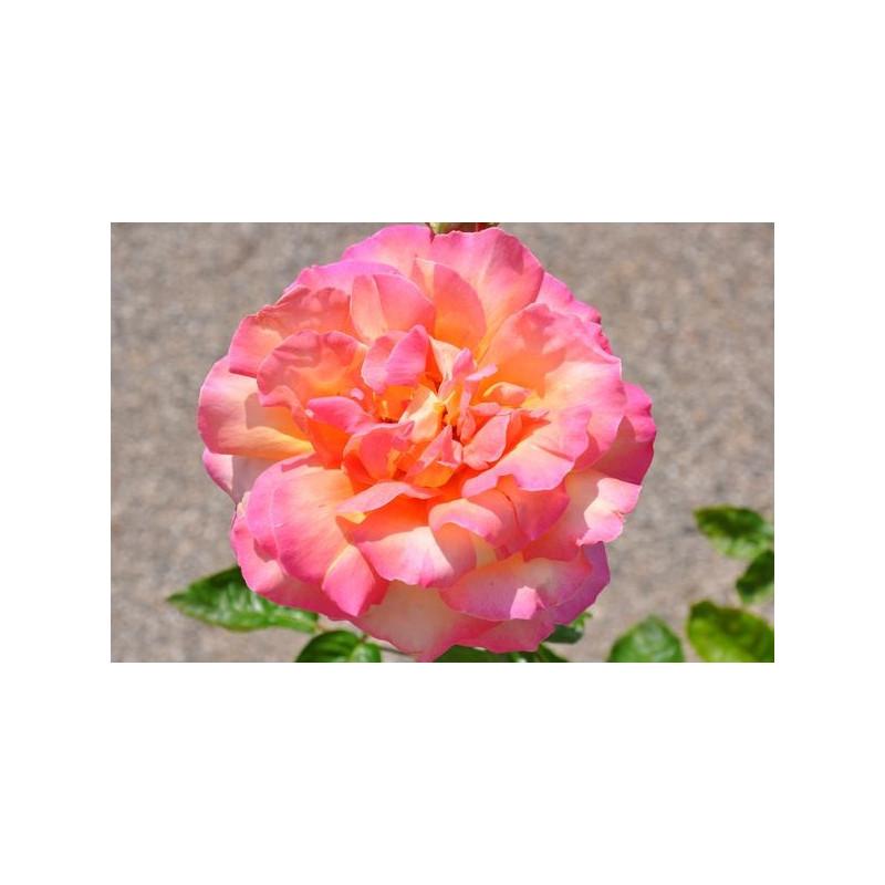 Rosier rose jaune à grosses fleurs - Chica