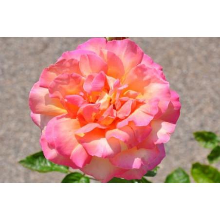 Rosier rose jaune grosses fleurs - Chica