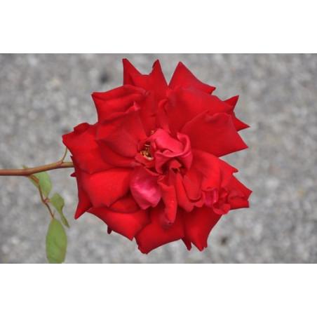 Rosier rouge grosses fleurs - Red star