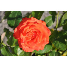 Rosier orange rouge grosses fleurs - Marieken