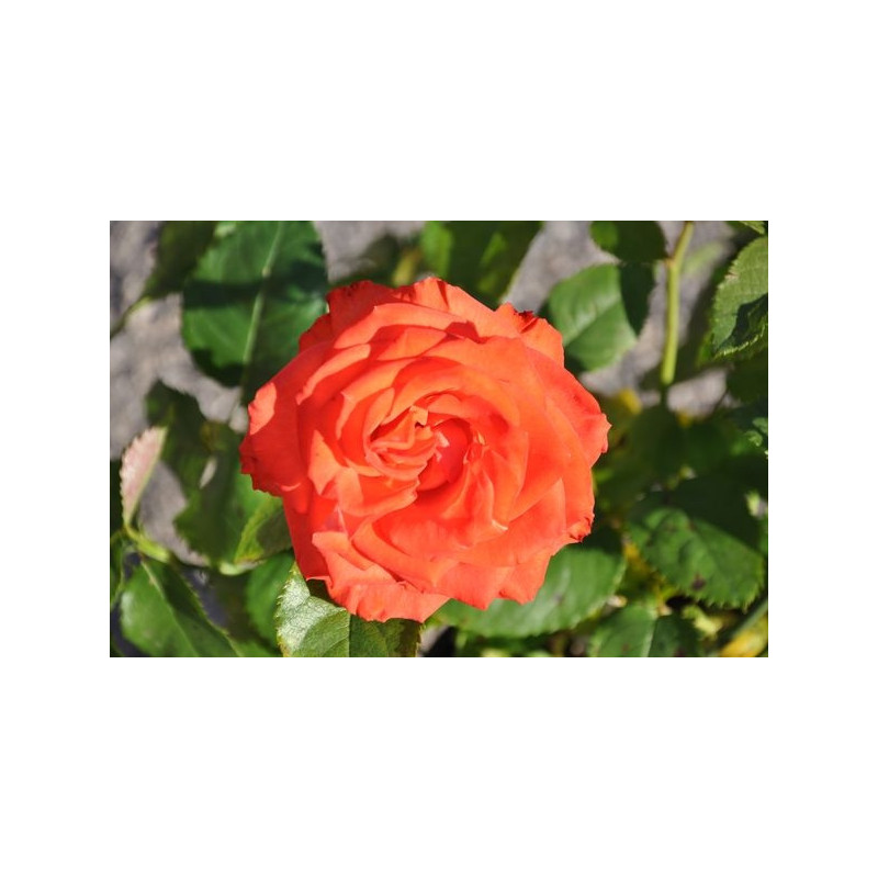 Rosier orange à grosses fleurs - Marieken