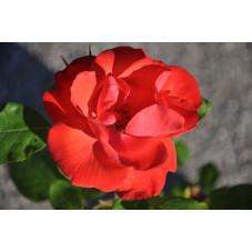 "Rosier arbustif "" la sevillana "" rouge"