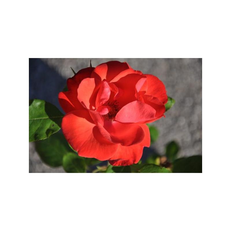 Rosier rouge arbustif  - la Sevillana