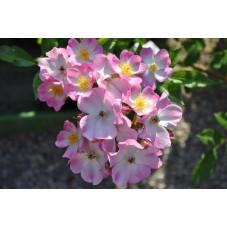 Rosier blanc et rose couvre sol - Tapis volant