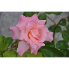 Rosier rose à grosses fleurs - sabine