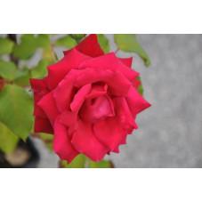 Rosier rouge à grosses fleurs  -  Ena Harkness