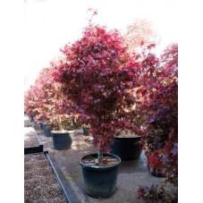 érable du Japon bloodgood - acer palmatum
