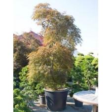 Erable du Japon - acer palmatum