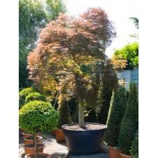 Erable du Japon tronc - acer palmatum