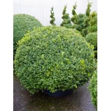 Buis boule - buxus sempervirens
