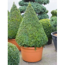 Buis pyramide - buxus sempervirens