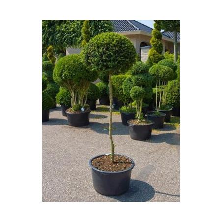 Buis boule sur tige - Buxus sempervirens