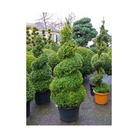 Buis spirale - buxus sempervirens