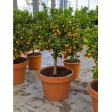 Citrus calamondin tige