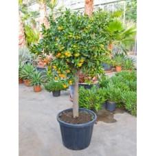 oranger d'appartement - tige 190 cm