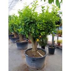 citronnier 220 cm circonférence tronc 40/+ cm - pot de 240 litres
