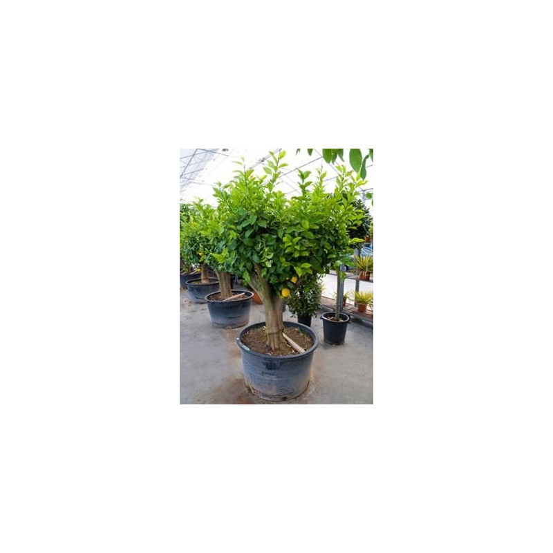 Vente citronnier for Jardin citronnier