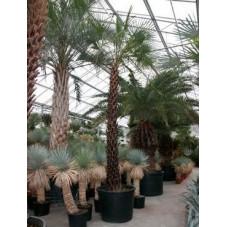 Copernica alba - palmier sur tronc