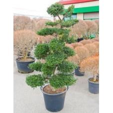 Ilex crenata - bonsaï