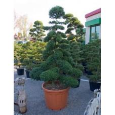 Ilex crenata - bonsai    230 cm