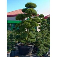 Ilex crenata - bonsaï   325 cm