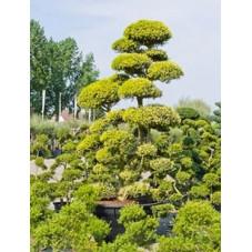 Ilex crenata - bonsaï    350 cm