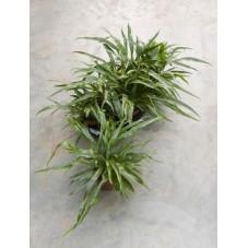 Aglaomorpha snake leaf  (  lot de 2 u. )