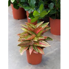 Aglaonema dynamic