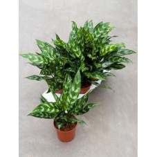 Aglaonema maria  - (  lot de 2 u. )