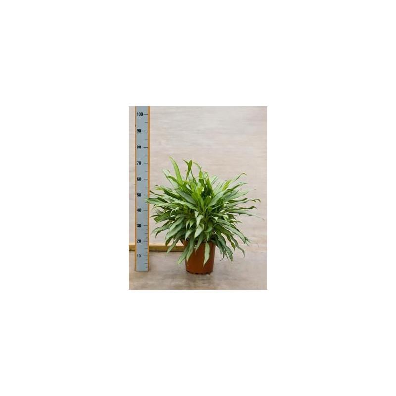 Vente de plantes vertes aglaonema white lance for Vente plante verte