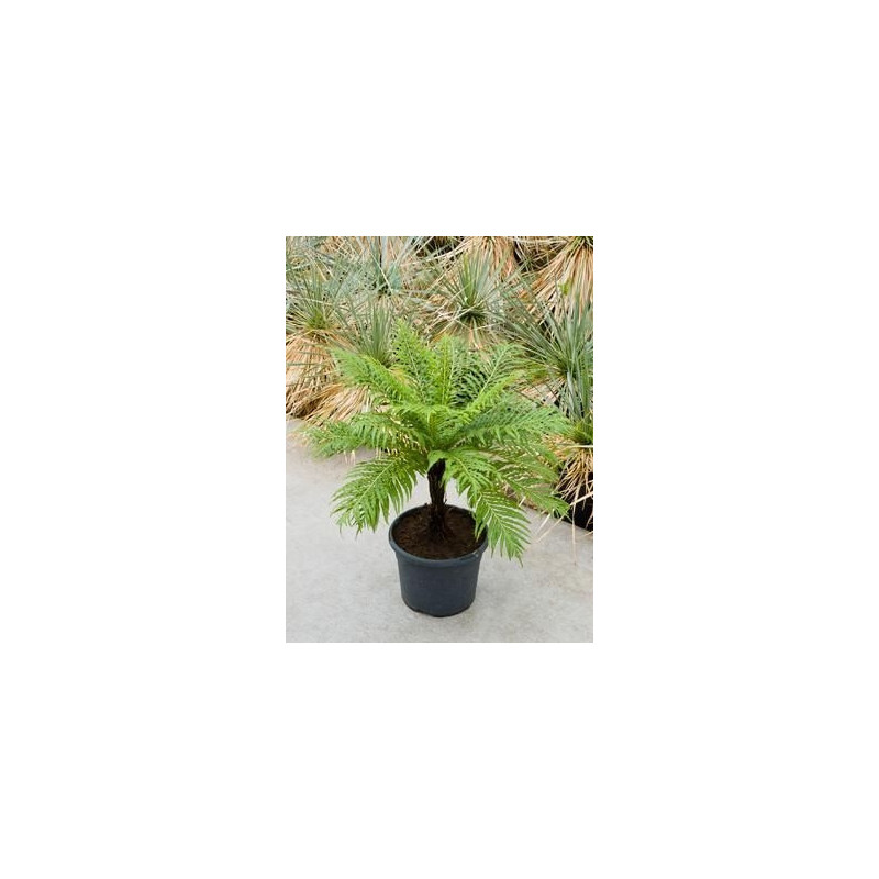 Vente de foug re d 39 int rieur blechnum gibbum for Fougere interieur