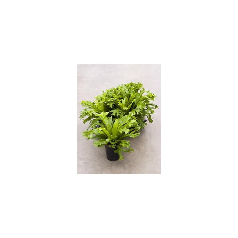 Vente de foug re nid d 39 oiseau asplenium nidus amy for Fougere interieur