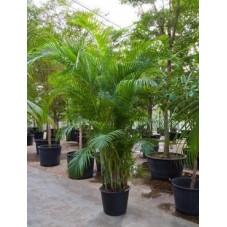 palmier d'Arec - areca -  300 cm